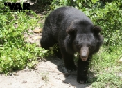Asiatic Black Bear or Moon Bear