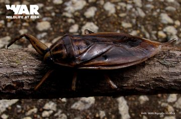 Giant Water Bug – Wildlife At Risk