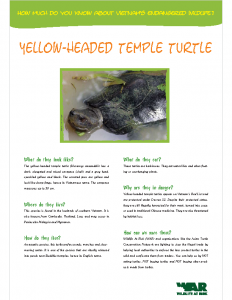 Yellow Headed Temple Turtle